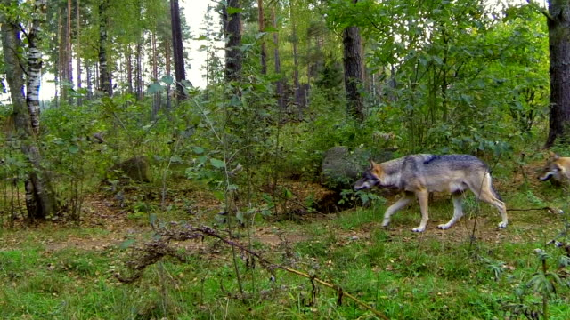 wolves - wolf stock videos & royalty-free footage