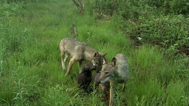 オオカミ - 肉食哺乳動物の子点の映像素材/bロール