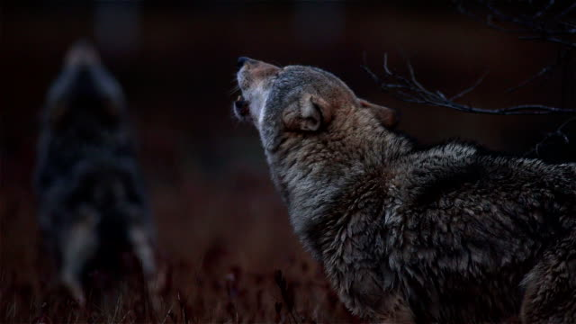 wolves - group of animals stock videos & royalty-free footage