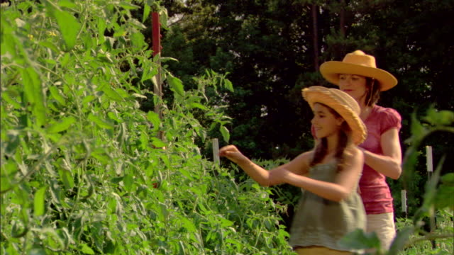 woman and daughter picking tomatoes in garden - see other clips from this shoot 1425 stock videos and b-roll footage