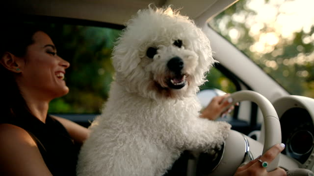 woman and dog driving car - maltese dog stock videos and b-roll footage