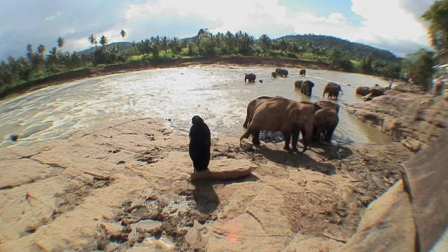 WS ZI ZO Woman and elephants on riverbank in elephant orphanage, Pinnewala, Sri Lanka