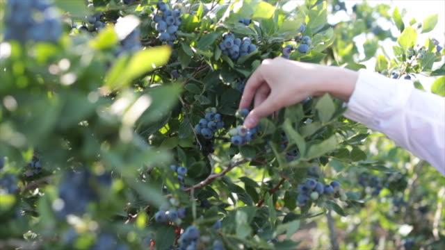 woman blueberries farm hand - organic stock videos & royalty-free footage