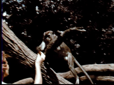 1957 MONTAGE Woman + boy feeding monkeys / Singapore Botanical Gardens, Singapore / AUDIO