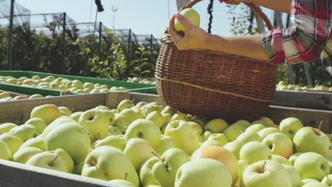 ds kvinna att köpa nyskördade äpplen i trädgården - korg bildbanksvideor och videomaterial från bakom kulisserna