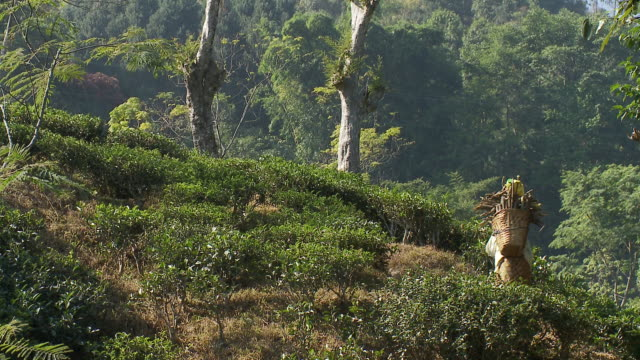 A woman carries a basket of wood on her back through a tea garden in Kurseong, India.