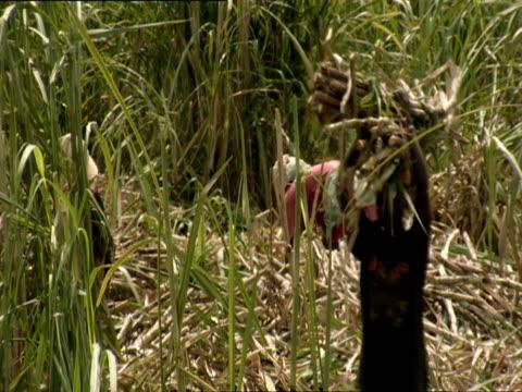 ms pan woman carries bundle of harvested sugar cane and people working in field / kigali, rwanda - フツ族点の映像素材/bロール