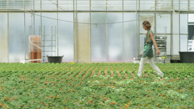 ls woman carrying gardening implements entering frame right, kneeling down and tending to plants in greenhouse - しゃがむ点の映像素材/bロール