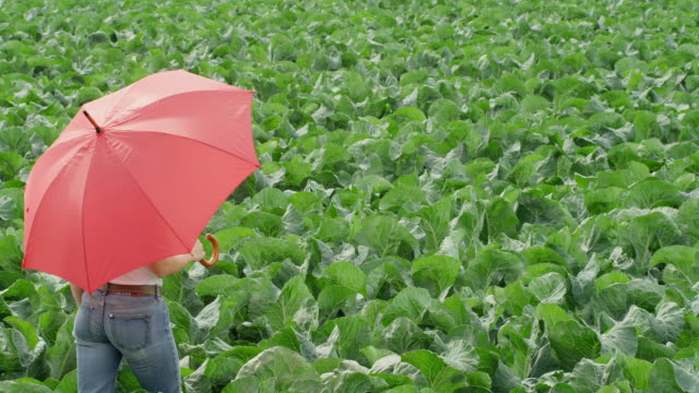 MS PAN woman carrying red umbrella walking through green cabbage field
