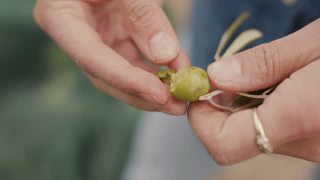 woman checking ripeness of freshly picked green olive - environmental conservation stock videos & royalty-free footage