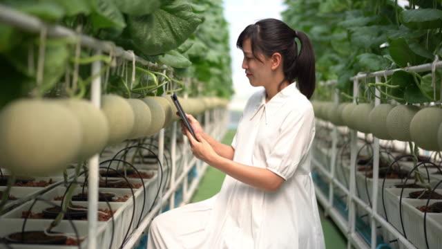 vídeos de stock e filmes b-roll de woman checking the quality of japanese melon fruits - melão de casca de carvalho