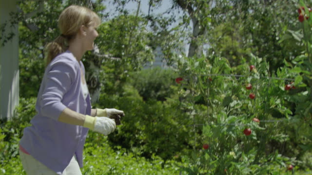 vidéos et rushes de ms shaky woman checking tomatoes on  bush in vegetable garden, encino, california, usa - fierté