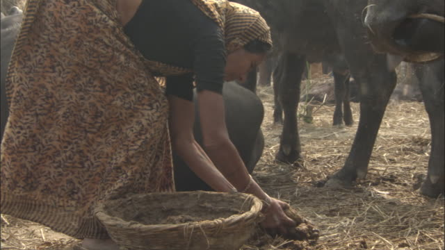 Woman collects cattle dung in basket, Sonepur Mela Available in HD.