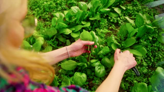 woman collects spinach leaves in a greenhouse - spinach salad stock videos & royalty-free footage