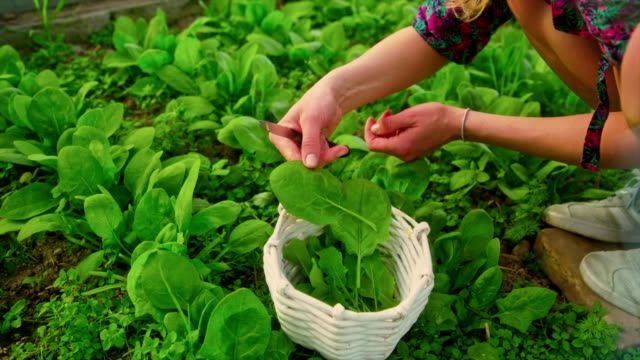 woman collects spinach leaves in a greenhouse - home made stock videos & royalty-free footage