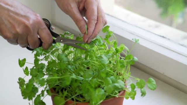 vídeos de stock e filmes b-roll de woman cutting cilantro in urban apartment - peitoril de janela