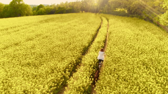 aerial woman cycling with her dog along track in a canola field - oilseed rape stock videos & royalty-free footage