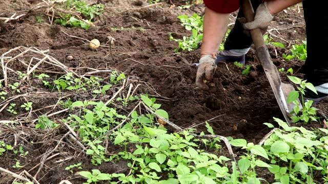 Woman digging potatoes in the vegetable garden