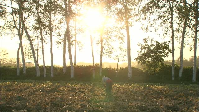 woman dries harvested beans at sunset, otofuke, hokkaido, japan - 農作業点の映像素材/bロール
