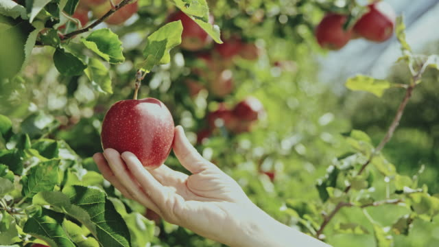 ds woman examining an apple - picking harvesting stock videos & royalty-free footage