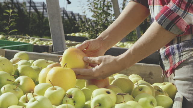 ds ms woman examining apples in the orchard - quality control stock videos & royalty-free footage