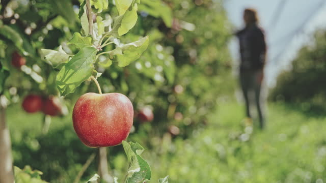 ds ws woman examining apples in the orchard - apple fruit stock videos and b-roll footage
