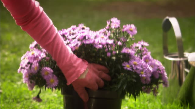woman examining potted flowers as she gardens flowerbed - gardening glove stock videos & royalty-free footage
