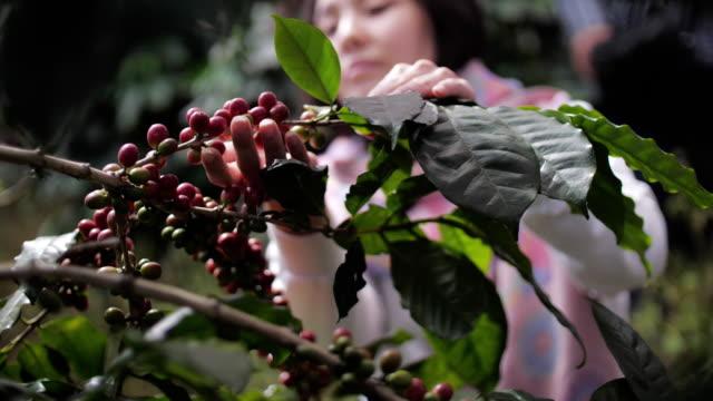 vídeos y material grabado en eventos de stock de mujer farmer mano recogiendo bayas de café robusta maduras para la cosecha, slow motion - actividad física