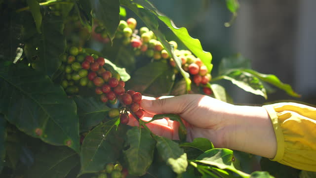 woman farmer hands checking a red coffee berries - limb body part stock videos & royalty-free footage