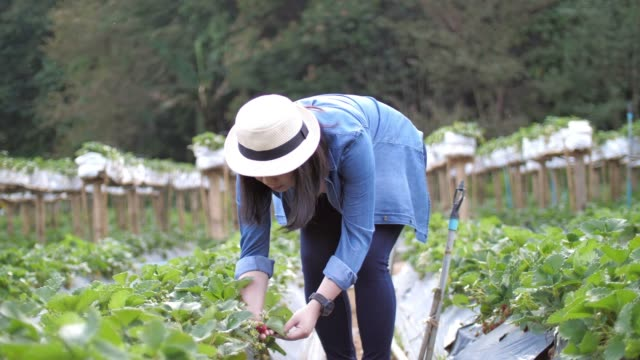 vídeos de stock e filmes b-roll de woman farmer picking strawberries in farm , slow motion - feira agrícola
