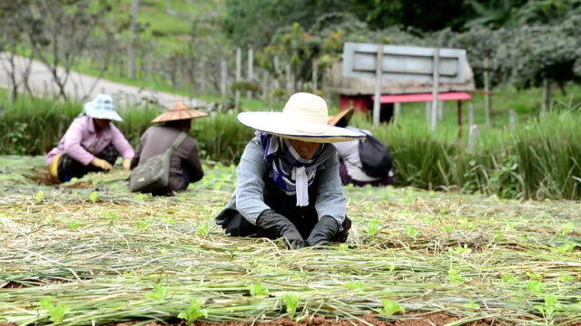 woman farmer planting vegetable in green farm - gardening glove stock videos & royalty-free footage