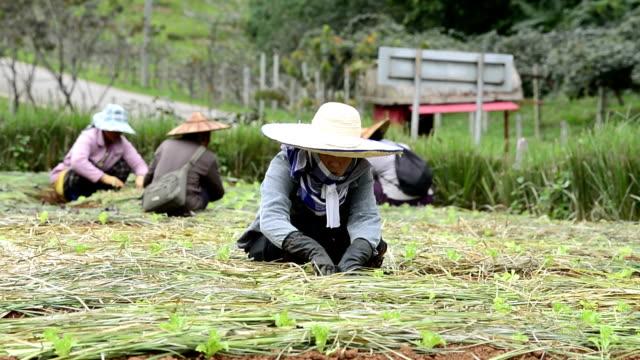 vidéos et rushes de agriculteur femme planter dans la zone verte de la ferme de légume - gant de jardinage