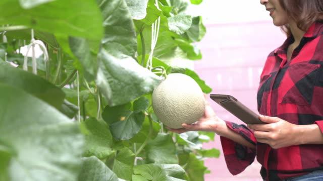 vídeos de stock e filmes b-roll de woman farmer take photo to scan melon - controlo de qualidade