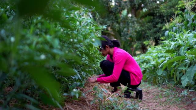 vidéos et rushes de femme farmer - piment