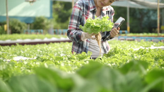 vídeos de stock, filmes e b-roll de fazendeiro da mulher que trabalha com tabuleta digital na exploração agrícola hidropónica - orgânico