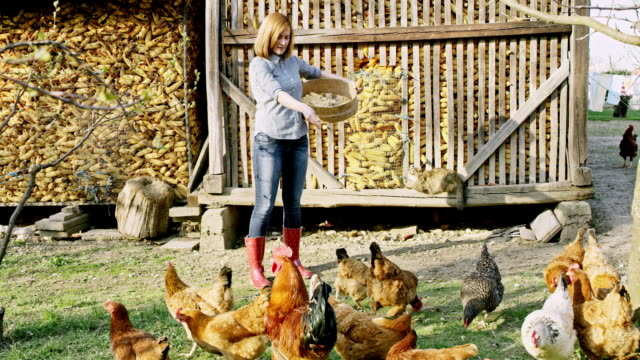 ws woman feeding a flock of hens - livestock stock videos & royalty-free footage