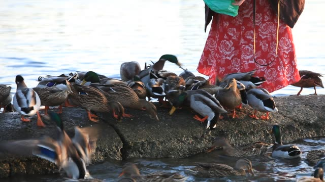 a woman feeding birds on lake windermere in ambleside lake district cumbria uk - group of animals stock videos & royalty-free footage