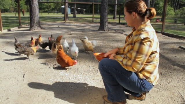 WS Woman feeding chicken in farm / Madison, Florida, USA