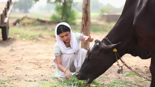 stockvideo's en b-roll-footage met woman feeding fodder to her cow, faridabad, haryana, india  - alleen één mid volwassen vrouw