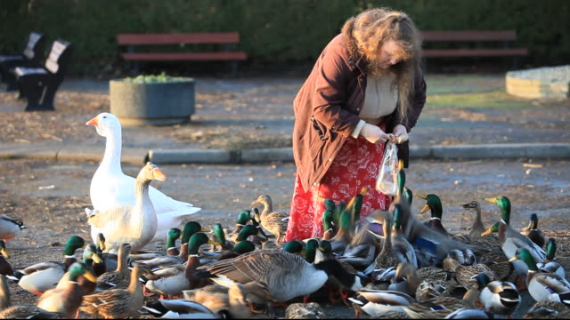a woman feeding mallard ducks at waterhead on lake windermere, lake district, uk. - bread stock videos & royalty-free footage