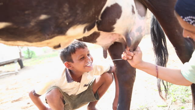 woman feeding milk to her son direct from cow's udder, faridabad, haryana, india  - latte video stock e b–roll