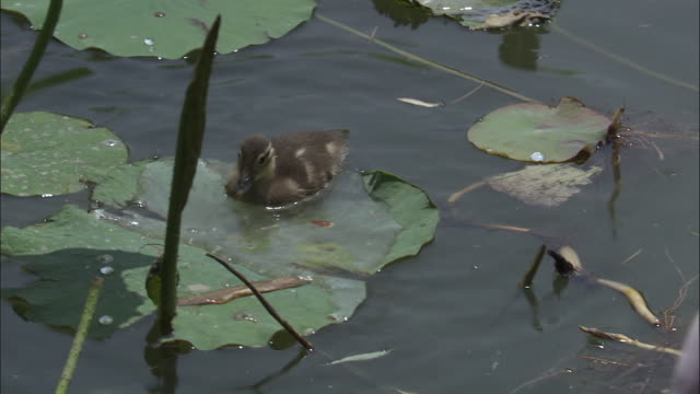 Woman feeds mandarin ducklings on lake, Beijing.
