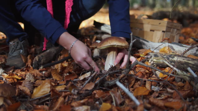 woman finding a big cape mushroom growing in a forest. - pilz stock-videos und b-roll-filmmaterial