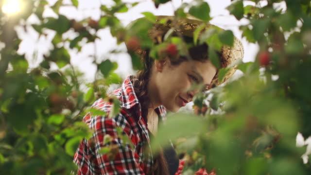 woman gardener picking raspberry from bush - raspberry stock videos & royalty-free footage