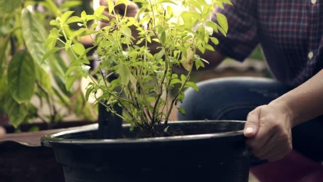 woman gardening digging tree pot/basil tree