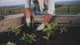 MS Woman gardening, planting peppers plants in garden soil of raised bed