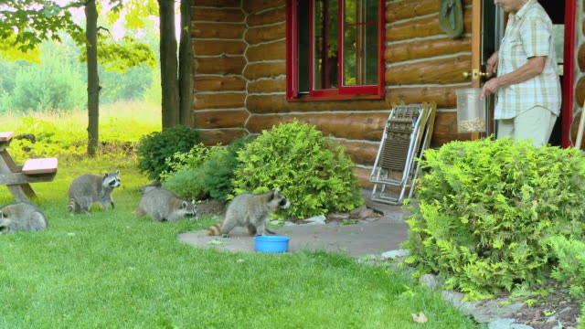 vidéos et rushes de ms zi woman giving feeds to raccoons in front of log cabin / tweed, ontario, canada - animaux de compagnie