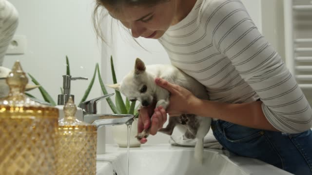 woman grooming her chihuahua in the bathroom, washing his paws after a walk - towel stock videos & royalty-free footage