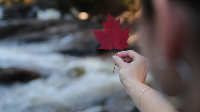 woman hand holding red maple leaf and waterfall - maple leaf stock videos and b-roll footage