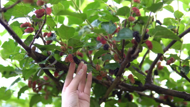 vídeos de stock e filmes b-roll de woman hand picking mulberry, slow motion shot - maduro